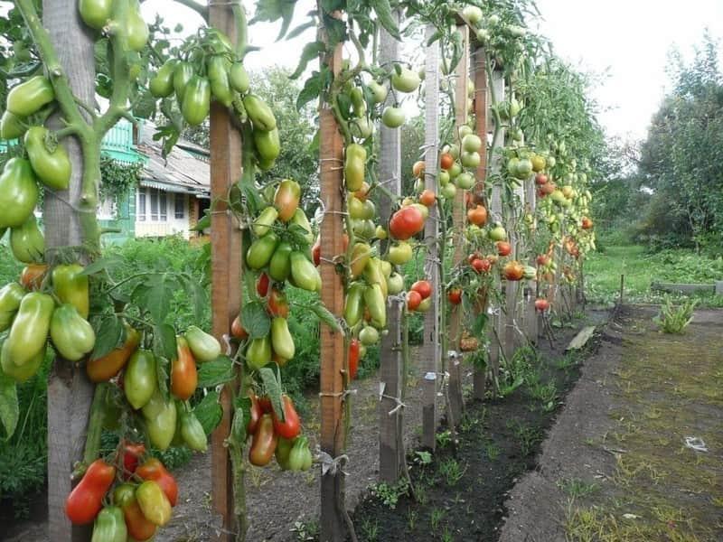 Фото подвязанных кустов томата