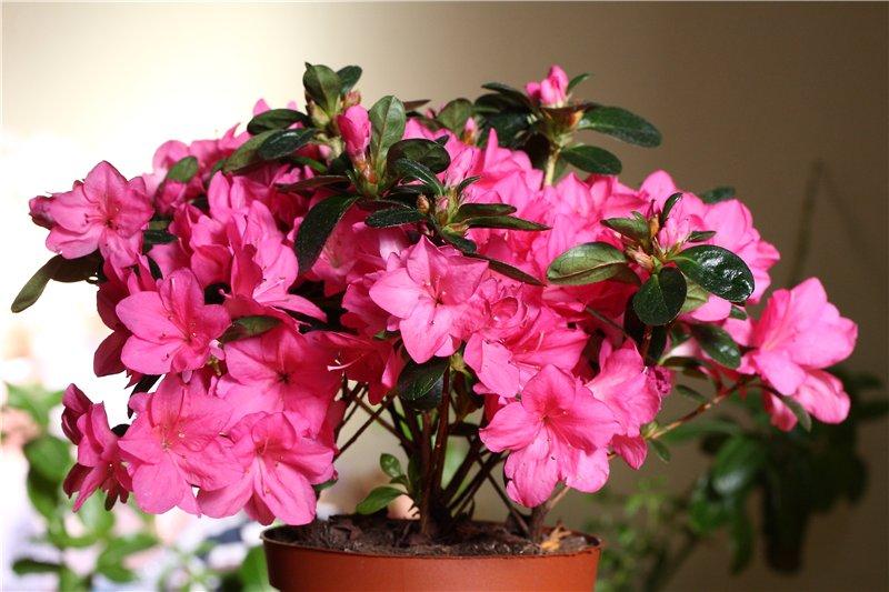 Фото цветущей азалии