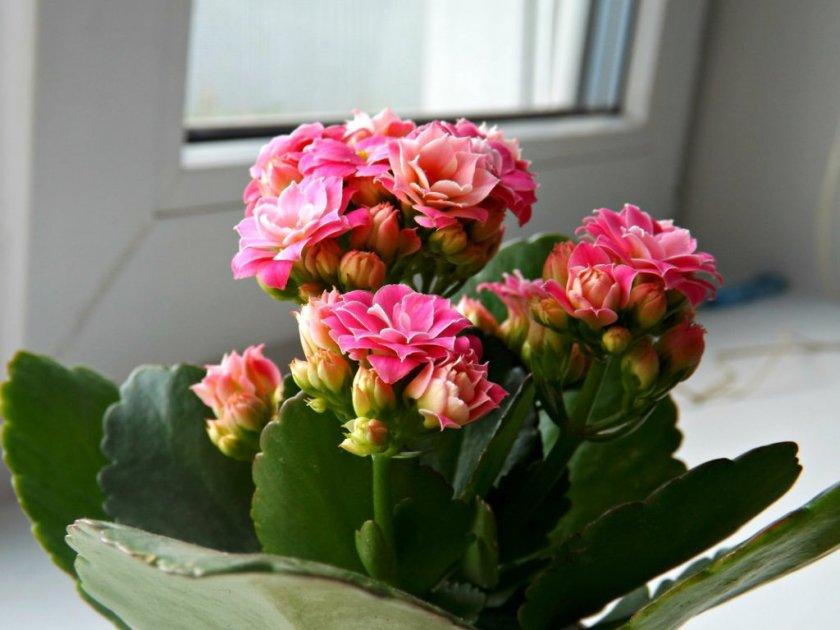 Фото цветения каланхоэ