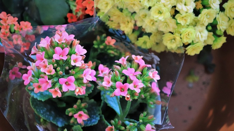 Фото цветущего каланхоэ