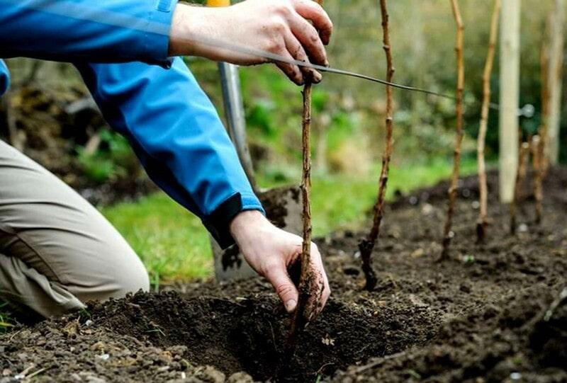Фото посадки малины