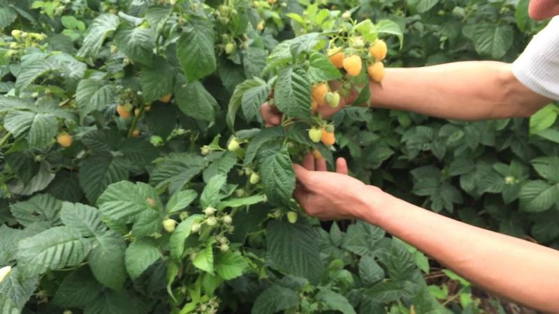 "Фото урожая малины ""Желтый гигант"""