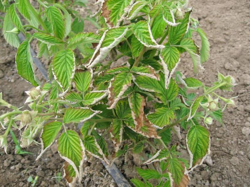Фото пораженных листьев малины