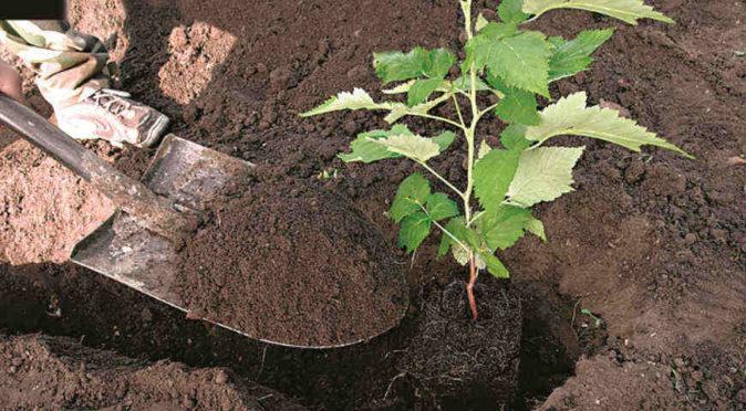 Фото кустового способа посадки малины