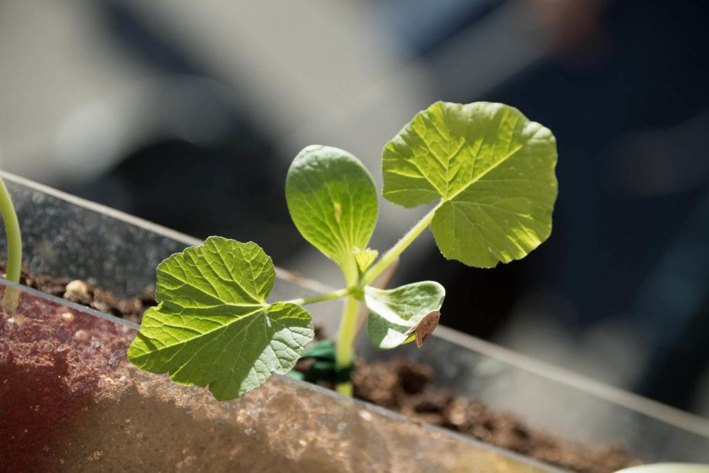 Фото ростков огурца