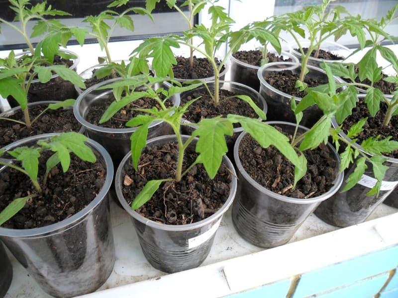 Фото распикированных томатов