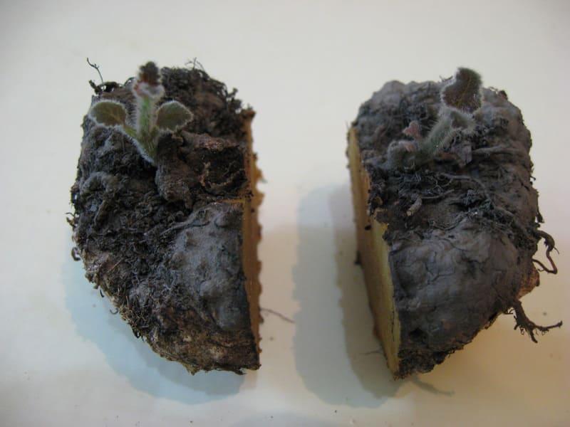 Фото разделенного клубня глоксинии