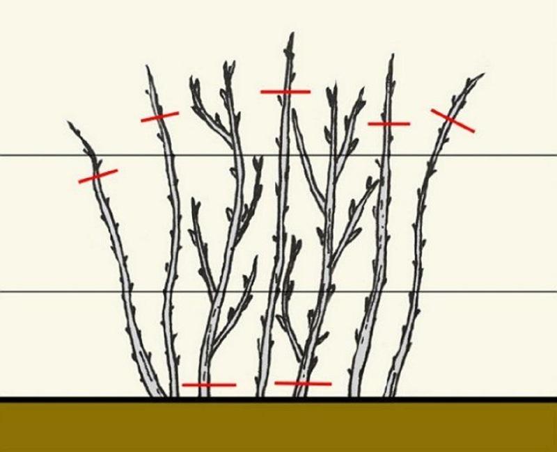 Схематичное изображение обрезки малины
