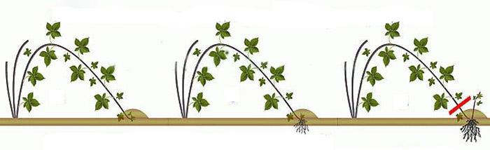 Схема размножения малины отводками
