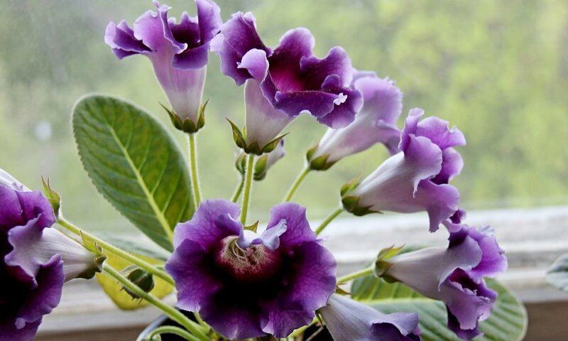 Фото цветущей глоксинии