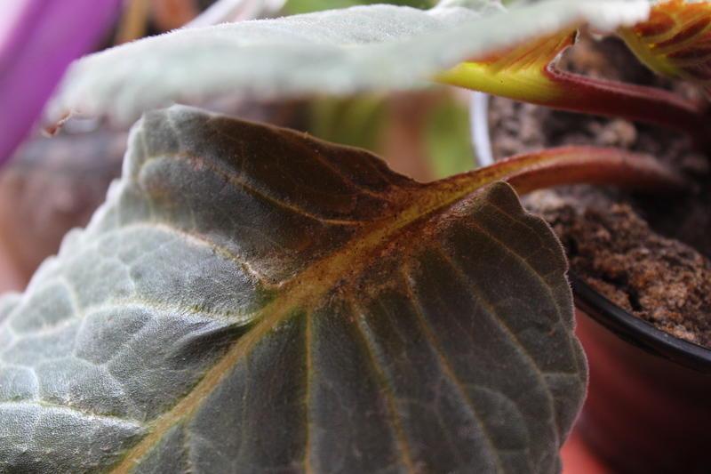 Фото пораженных листьев глоксинии