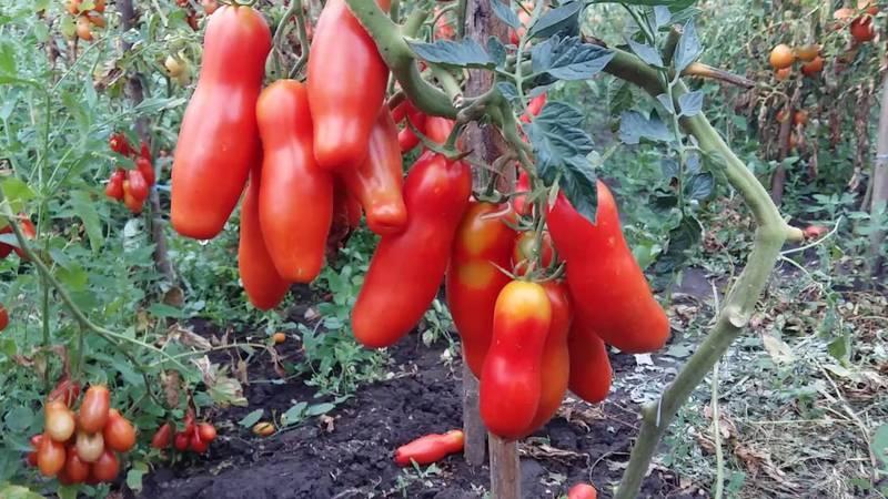 Фото помидоров на грядке