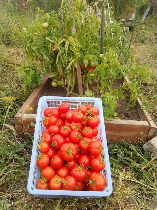 """Фото помидоров """"Любаша"""""""