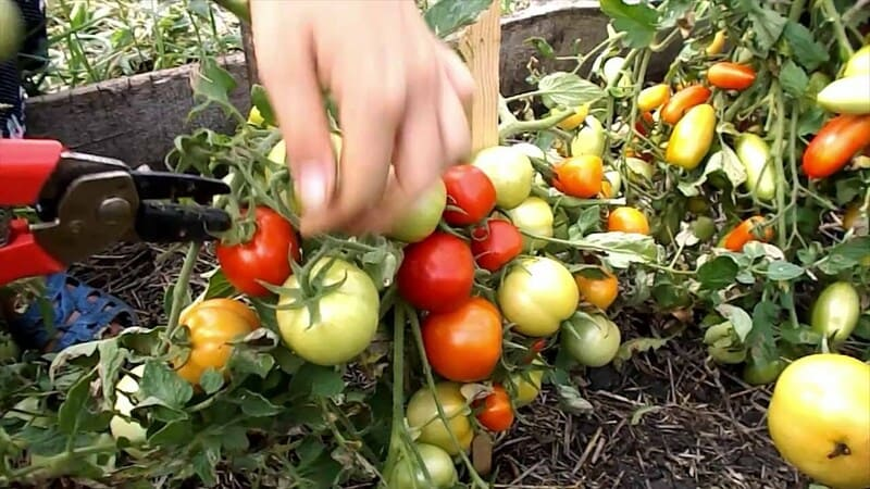 Фото обрезки помидоров