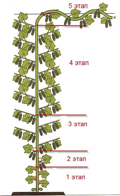 Схема формирования пучковых огурцов