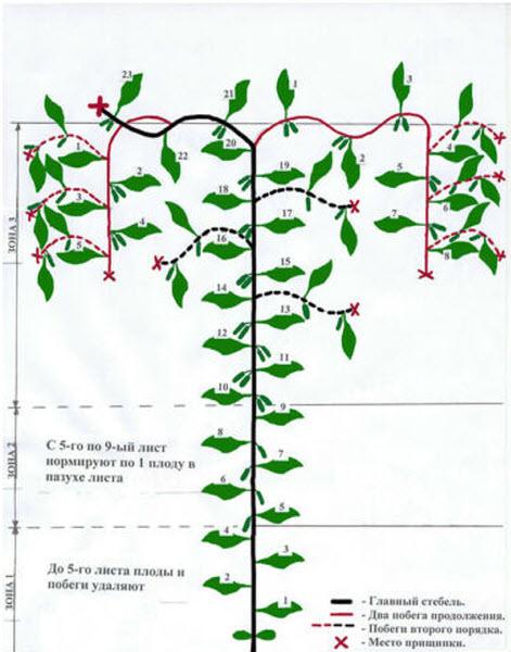 Схема формирования огурцов в 2 стебля
