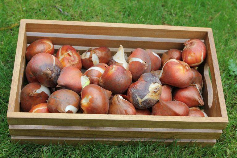 Фото луковиц тюльпана в деревянном ящике