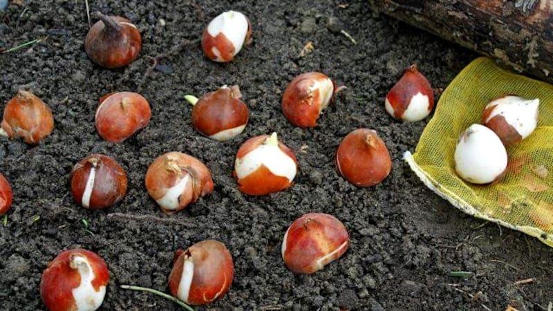 Фото луковиц тюльпанов на земле