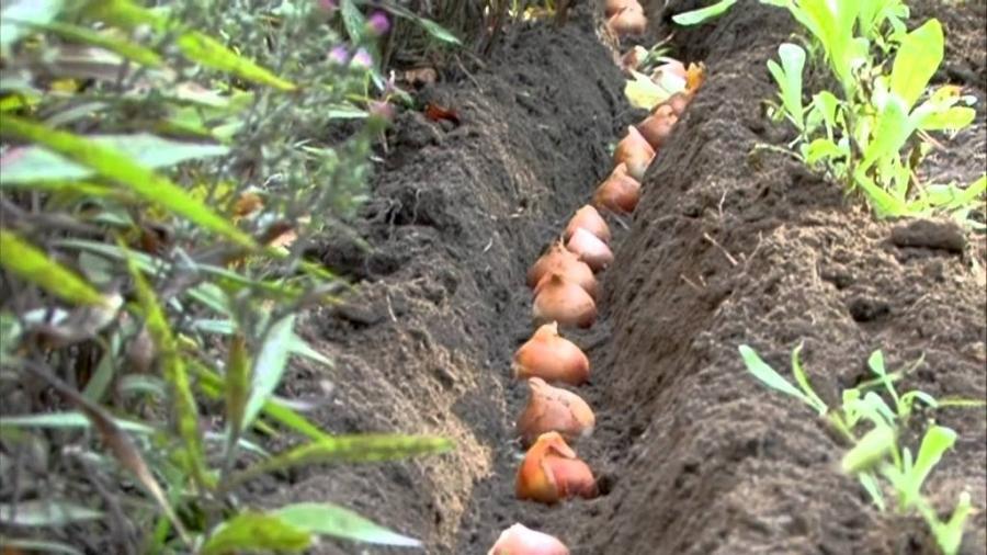 Фото традиционной посадки тюльпанов