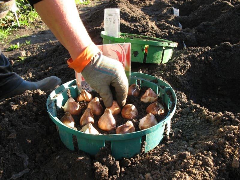 Фото посадки тюльпанов в корзинке