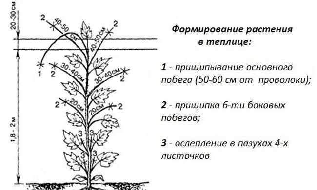Схематичное изображение прищипки огурцов