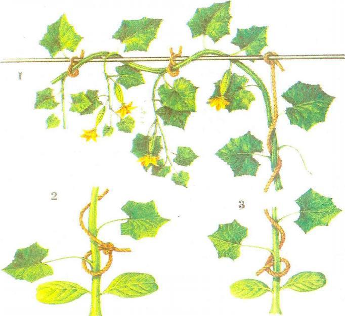 Схема привязки огурцов