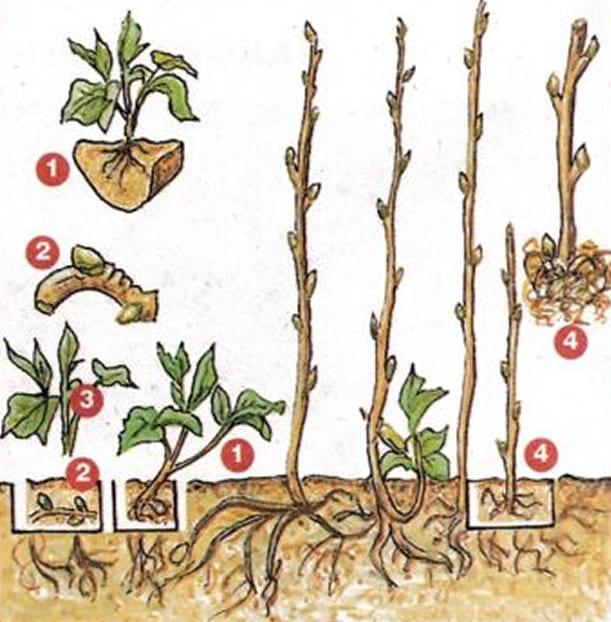 Схематичное изображение размножения малины