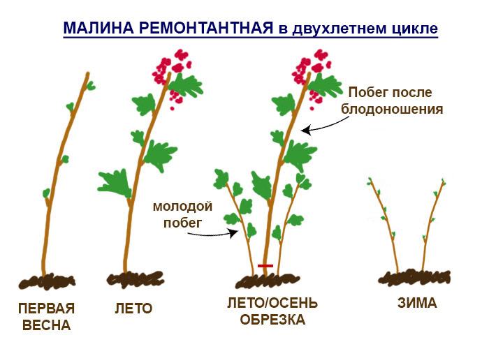 Схематичное изображение малины в 2-х летнем цикле