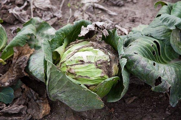 Фото капусты при недостатке питания