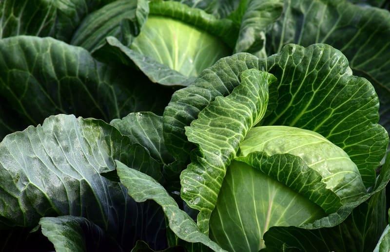 Фото капустных кочанов