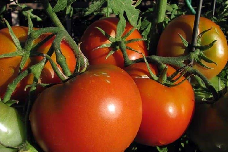 Подкармливаем помидоры бором
