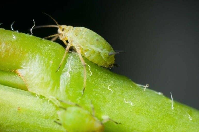 Как выглядит насекомое тля
