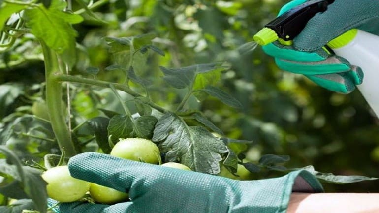 Изпользование бора для завязи помидор