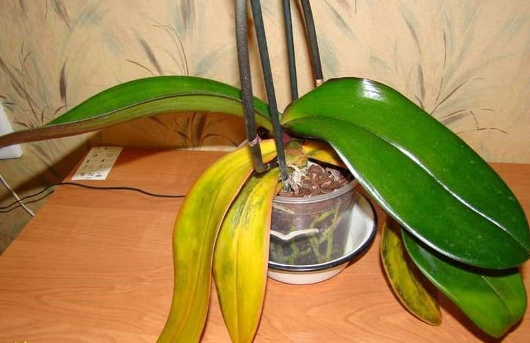 Естественное старение орхидеи