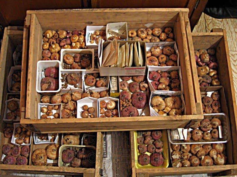 Фото клубнелуковиц в коробках и ящиках
