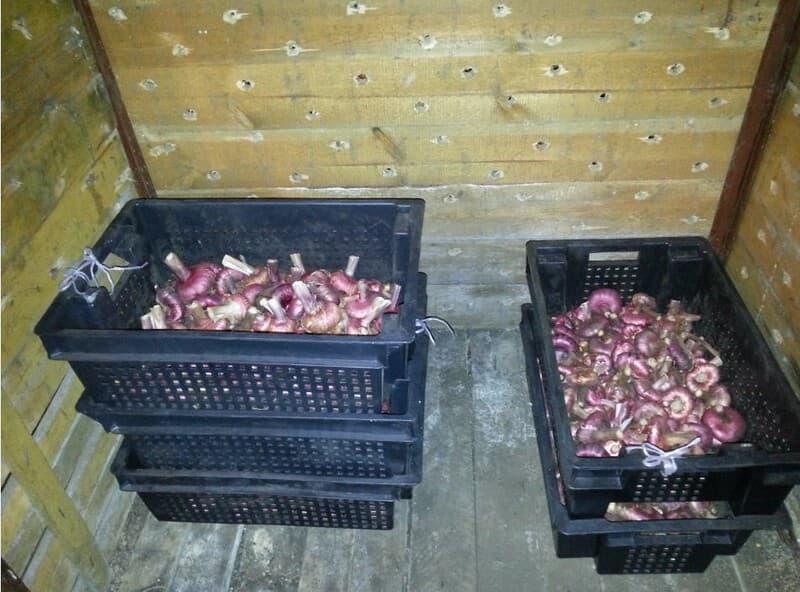 Фото клубнелуковиц в ящиках в подвале