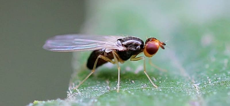 Фото морковной мухи