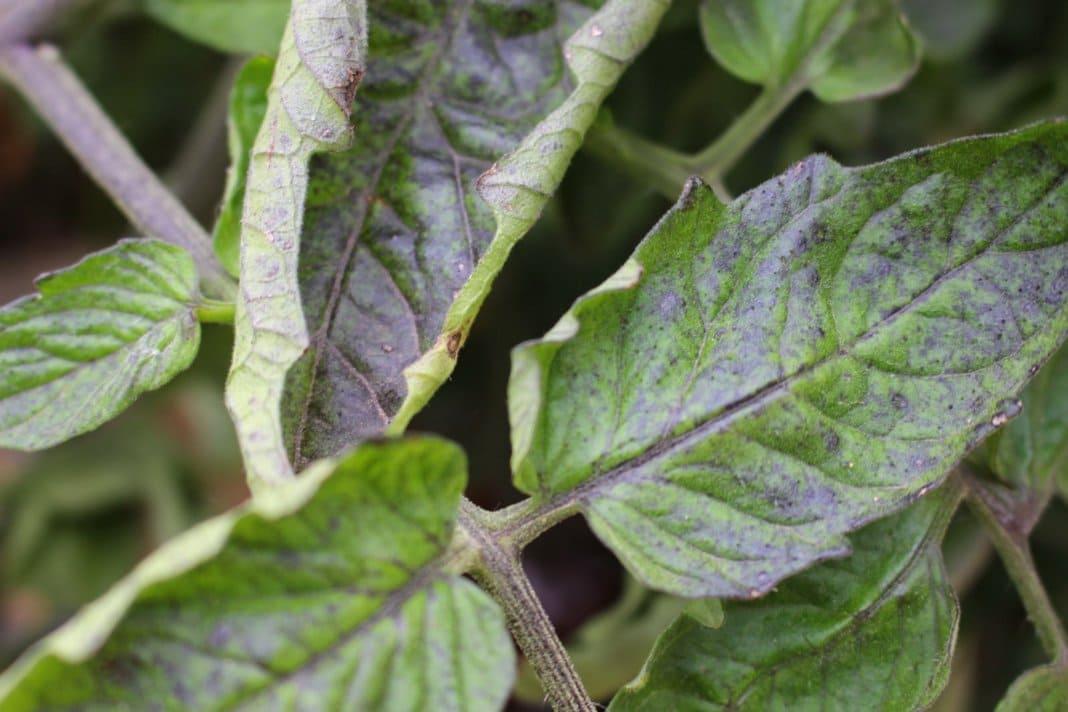 Фото листьев томата при недостатке фосфора