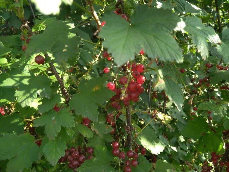 Фото ягод красной смородины