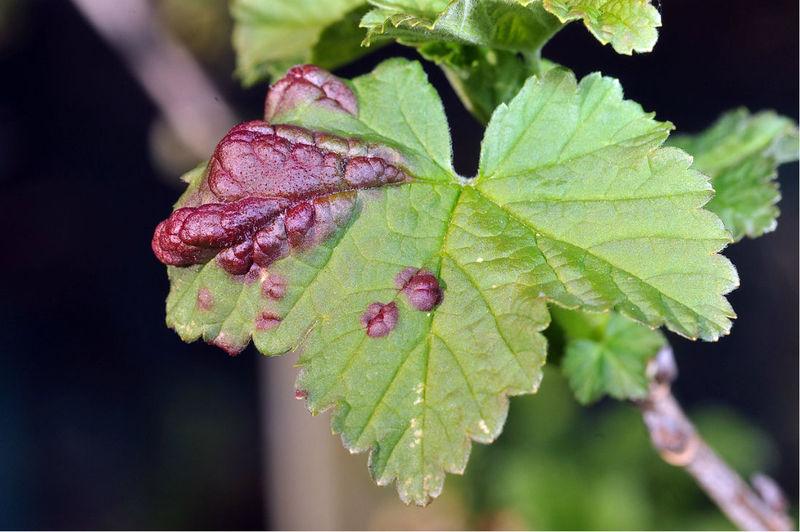 Фото галлов на листе красной смородины