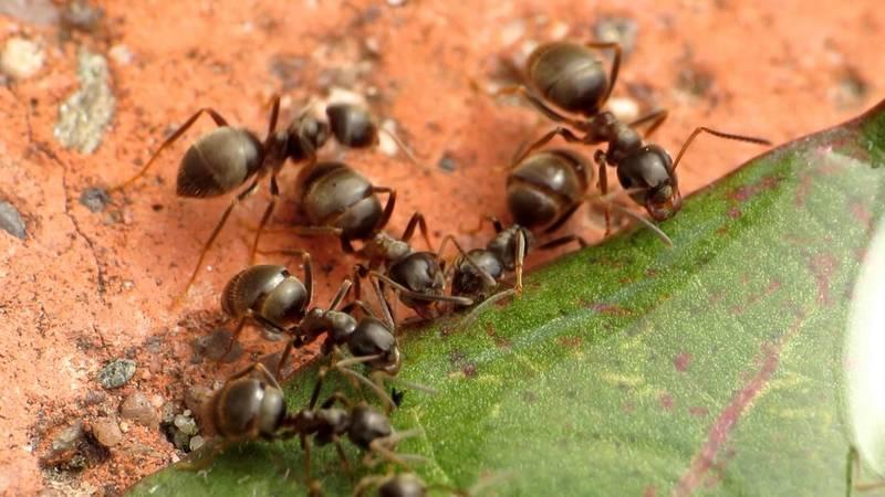 Фото садовых муравьев