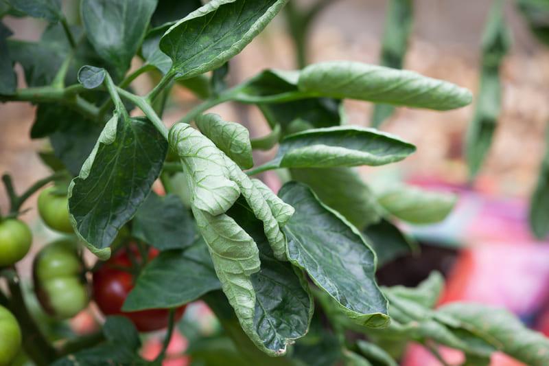 Фото скрученных листьев томатов