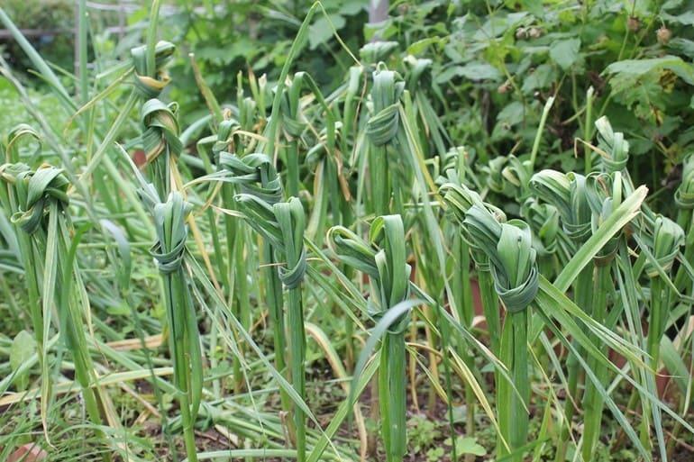 Фото завязанных листьев чеснока