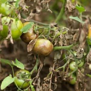 Фото фитофторы на томатах