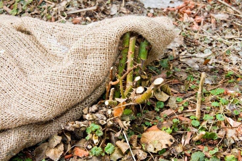 Фото укрытия роз из мешковины