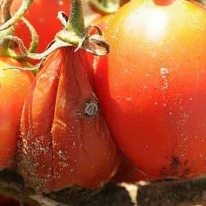 Фото плодовой гнили