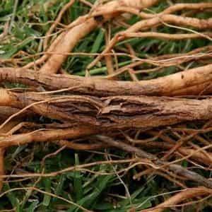 Фото Опробковения корней томата