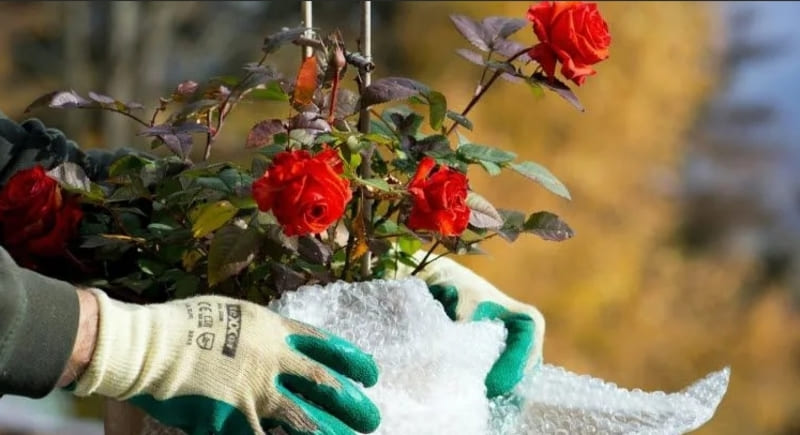 Фото процесса укрывания роз