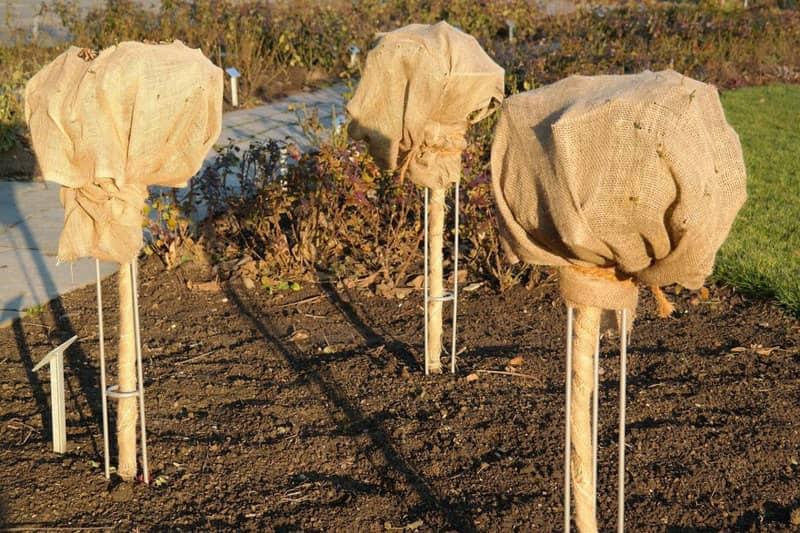 Фото укрытых штамбовых роз