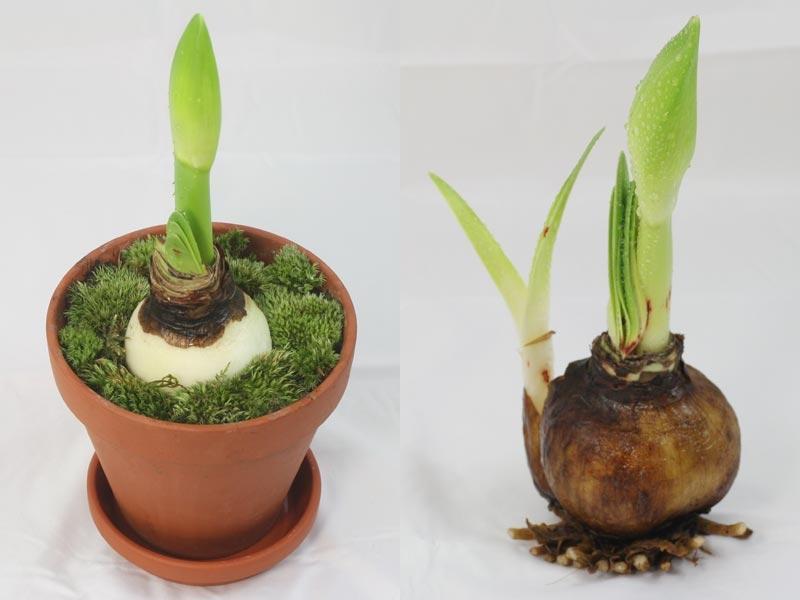 Фото луковицы гиппеаструма